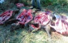 2 شکارچی گراز در لرستان دستگیر شدند
