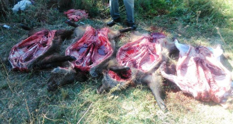 ۲ شکارچی گراز در لرستان دستگیر شدند